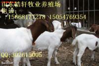 供应波尔山羊羊羔肉羊种羊