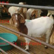 养殖育肥波尔山羊种羊项目好利润高图片