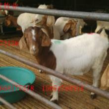 供应小尾寒羊养殖场羊羔白山羊