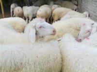 杜泊羊丶波尔山羊丶小尾寒羊图片