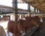 想养牛纯利润怎样一头牛净赚多少钱图片