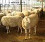 供应肉牛犊西门塔尔牛