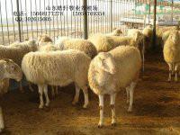 小尾寒羊养殖效益白山羊羊苗报价