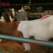 供应小尾寒羊怎样圈养与放养?批发
