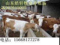 鲁西黄牛最新养殖技术图片