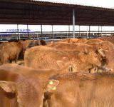 供应肉牛价格丶肉羊价格