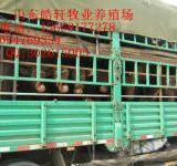 供应500斤西门塔尔牛