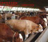 供应供应200--500斤重的牛犊
