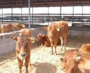 乳用牛成品肉牛夏洛莱种牛图片