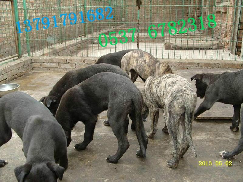 格力犬/格力犬原产于中东地区, 是世界上奔跑速度最快的狗。