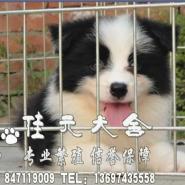广州哪里有卖边牧犬广州买纯种边牧图片