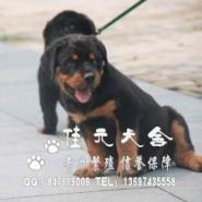 广州哪有卖罗威纳广州纯种罗威纳图片
