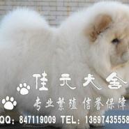 广州什么地方有松狮犬广州松狮哪有图片