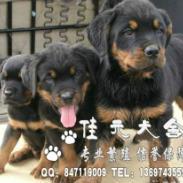佛山哪里有卖罗威纳宠物狗图片