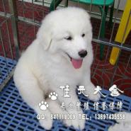 广州哪里有卖纯种大白熊幼犬图片