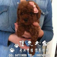 供应广州哪有卖泰迪熊广州泰迪熊价格