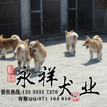 供应广州哪里有卖纯种日本秋田犬批发