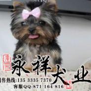 广州哪个地方有卖纯种迷你约克夏犬图片