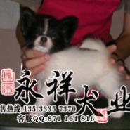 广州市哪里有纯种蝴蝶犬宠物狗购买图片