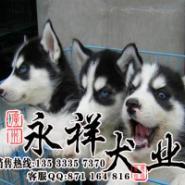 哈士奇多少钱佛山哪里有卖纯种犬图片