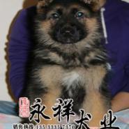 佛山哪里有狗场出售纯种健康德牧犬图片