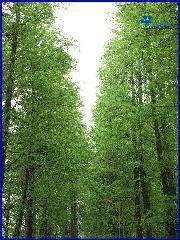 供应落羽杉销售价格图片