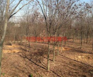 供应红榉树销售,句容红榉树销售图片