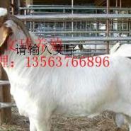 纯种小尾寒羊波尔山羊图片