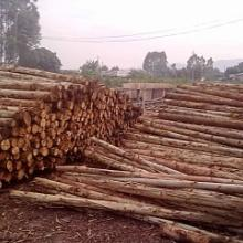 供应桉树材单板