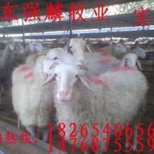 供应在河南有纯种小尾寒羊价格养殖场批发