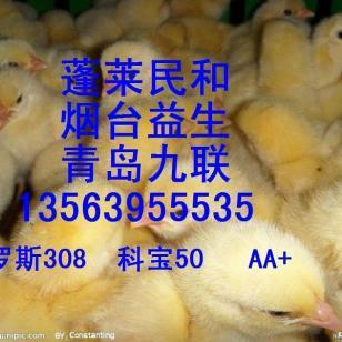 0烟台益生鸡苗蓬莱民和鸡苗图片