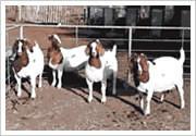 波尔山羊养殖基地价格最低图片