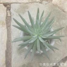 供應景天科多肉植物'白花仙女杯'圖片