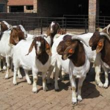 ##哪里能买到波尔山羊种羊?18865043566买种公羊去哪里?图片