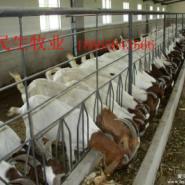 养殖波尔山羊图片