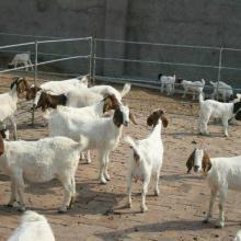 哪里有卖小羊羔的?什么地方的小尾寒羊长势好?18865043566图片