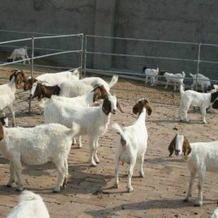养羊的利润是多少图片