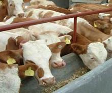 徐州哪里有卖小牛苗的徐州什么地方卖牛信息图片
