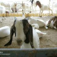 波尔山羊小羊价格-小尾寒羊养殖图片