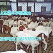 波尔山羊养殖-小羊价格图片
