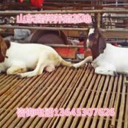 波尔山羊最新价格-肉羊网图片