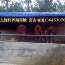 供应肉驴-驴肉价格-肉驴养殖场图片