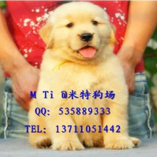 白云区边度哪里有卖金毛犬图片