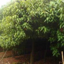 供应胭脂木