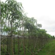 红花风铃木3-12公分地苗5-20袋苗图片
