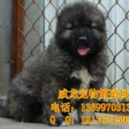高加索犬出售图片