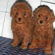 供应泰迪熊广州哪里能买到泰迪熊犬 广州买狗要办什么证吗