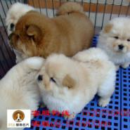 东莞哪里有能买到纯种松狮犬图片