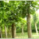 江苏盐城法桐白蜡树苗12公分多少钱图片