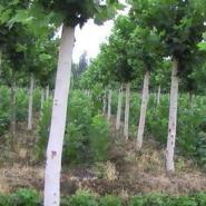 淮安法桐树苗白蜡苗木12公分多少图片